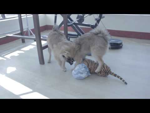 Pomeranian puppies playing with homemade toy || curious pomeranian playing ||