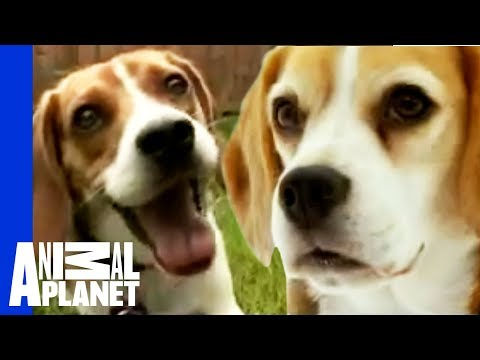 The beloved hound: the beagle   dogs 101