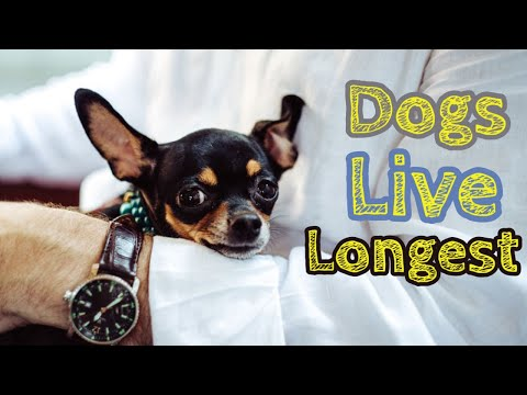 🔥tips and complete guide which dogs live the longest - oldest dogs ever- oldest dogs in the world