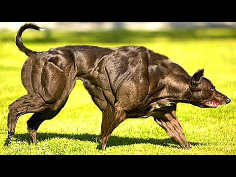 15 most muscular dog breeds in the world
