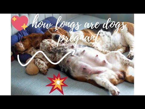 How longs are dogs pregnant - how long are dogs usually pregnant - how long do dogs stay pregnant