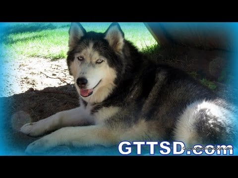 Why not to shave a husky! | fan friday 158