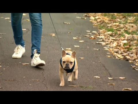 French bulldogs are being abandoned due to high medical costs