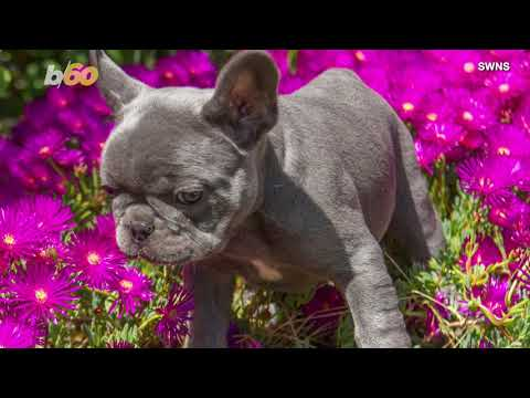 You won't believe how much these adorable french bulldog puppies cost!
