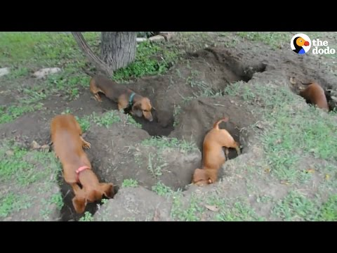 Dachshunds dig the best holes   the dodo