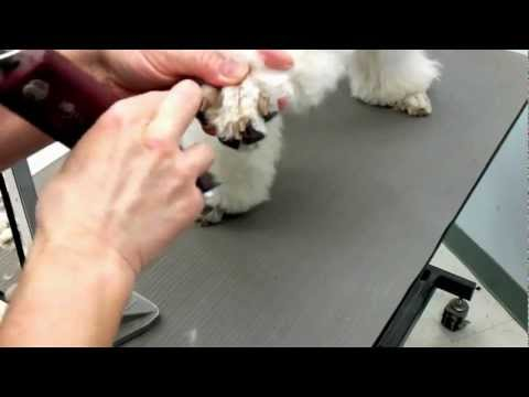 How to shave poodles feet | poodle grooming