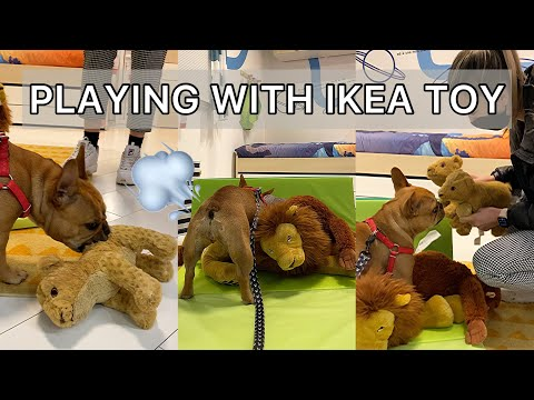 Dog picks a toy and starts playing in ikea / funny