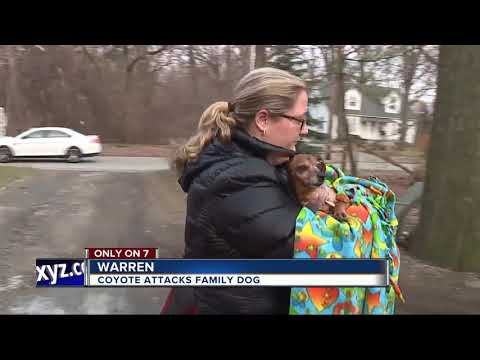 Coyote attack in warren leaves 13-year-old family dog 'bella' clinging to life