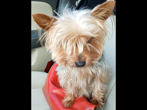 Beware of my yorkie. yorkshire terrier are lions ❤️❤️❤️