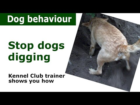 How to stop a dog from digging   expert dog training advice