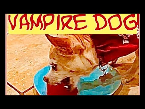 Dogs try to eat blood red jelly (jello) #shorts