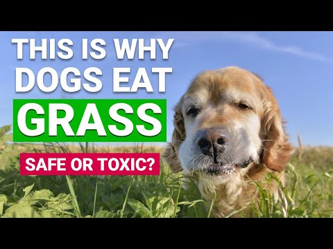 3 reasons why dogs eat grass #shorts