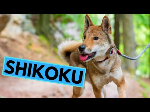 Shikoku dog breed - facts and information