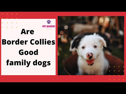 Are border collies good family dogs? | are border collies good with kids? |