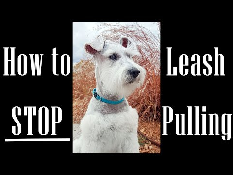 How to stop leash pulling - 3 miniature schnauzers in training