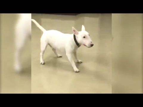 Bull terrier excited to see owner