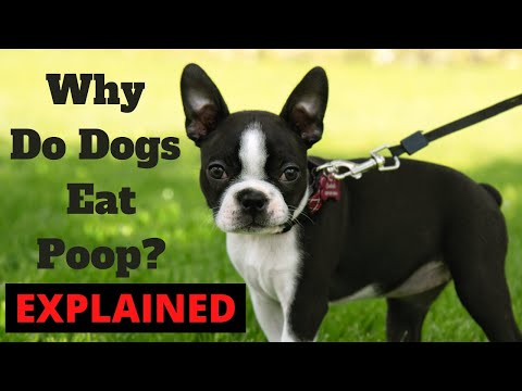 Why do dogs eat poop? how to stop poop eating in dogs