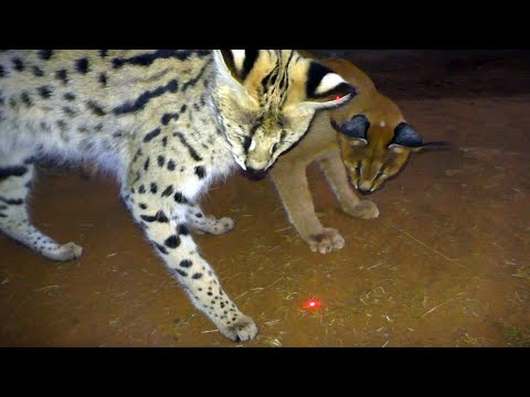 Which african big & small cats play with laser light toys?   cheetah leopard lion caracal serval
