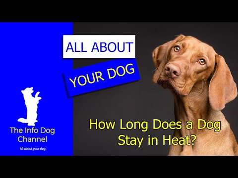 🐶 how long does a dog stay in heat 👀