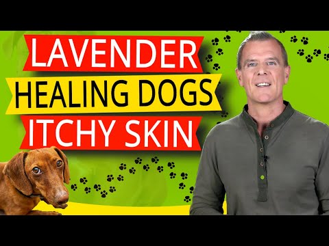 Lavender oil for dogs itchy skin (healing, calming & soothing the skin)