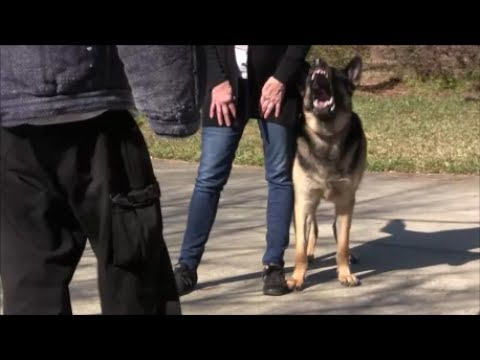 Will your dog protect you naturally? the shocking truth revealed! (part 2)