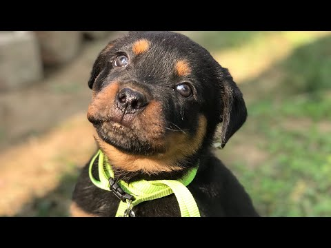 Rottweiler does anything for food!!!!