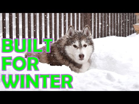 Siberian husky   how they survive in cold weather