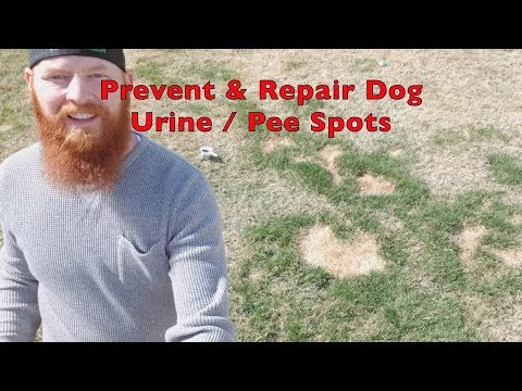 How to repair and prevent dog urine / pee spots