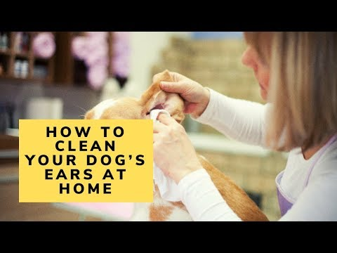 How to clean your dog's ears at home
