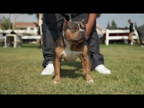 Tips on buying a pit bull puppy
