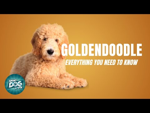 Goldendoodle dog breed guide   dogs 101 - goldendoodle puppies to adults