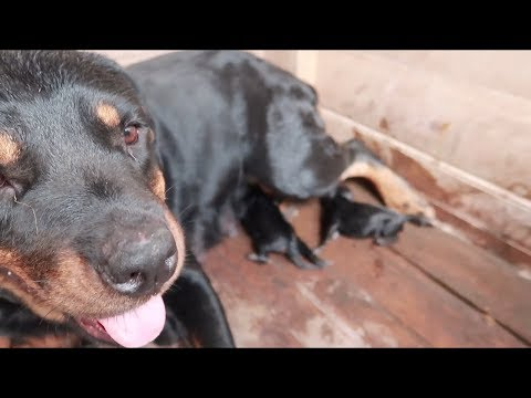 My rottweiler giving birth to six puppies