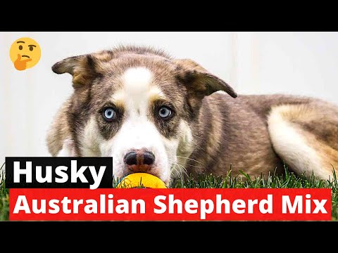 Husky australian shepherd mix: should you even get this breed for yourself? 😞