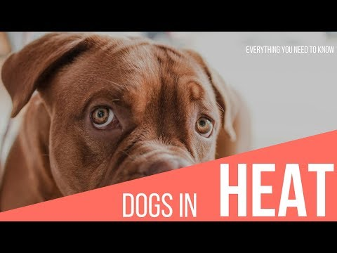 Dogs in heat how long - dogs in heat/how to understand your dog's heat cycle/ animal care