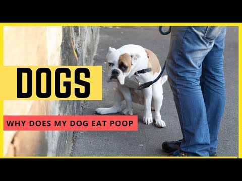 Why does my dog eat poop