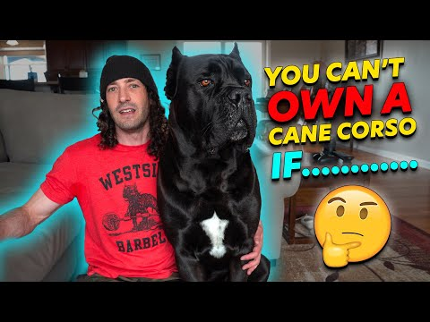Why you can't own a cane corso