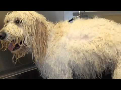 Dematting and brushing your doodle - designer paws salon
