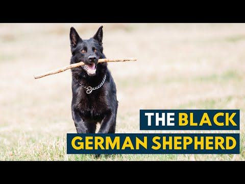Black german shepherd: your guide to the all-black gsd!
