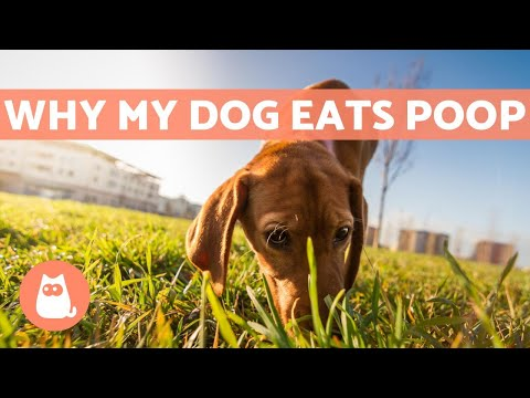 Why does my dog eat their feces? - causes and solution