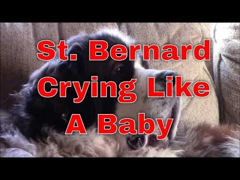 St bernard dog crying for attention