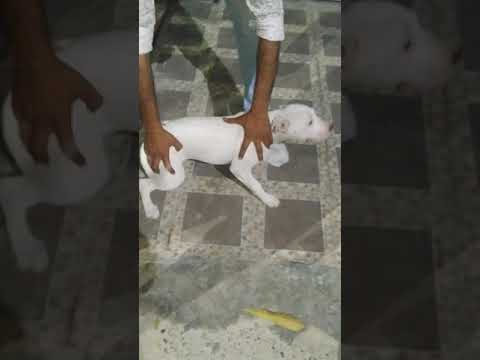 Dehradun dog pitbull puppies for sale in pure quality by rohit dog kennel in dehradun uttrakhand