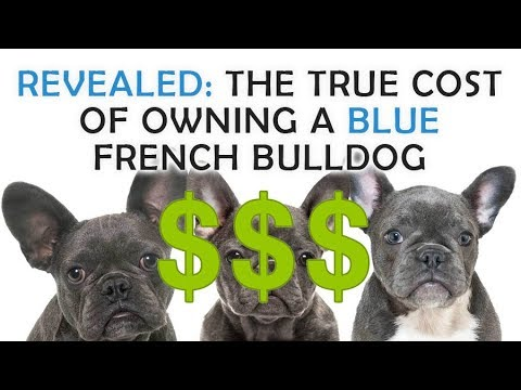 The true price and cost breakdown of owning or adopting a blue french bulldog puppy