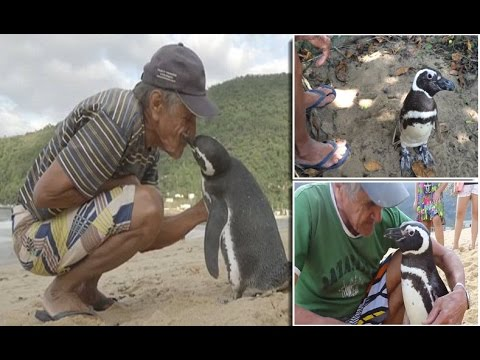 Dindim the penguin swims 5000 miles every year to visit brazilian man who saved him