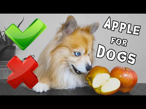 Dog reviews food | can dogs eat apples ? | apples for dogs | my dog reaction | pomeranian papet