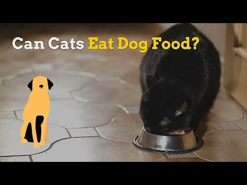 Can cats eat dog food | is this food safe for your kitten