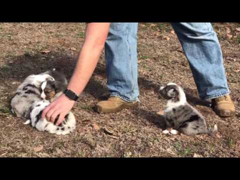 Betty's toy /mini australian shepherd puppies have tails! at lindsey's aussies