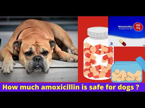 How much amoxicillin is safe for dogs? (benefits-side effects-serving ideas)