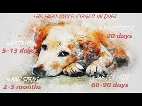 How long does a dog's heat cycle last