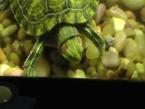 Why are my turtles eating rocks