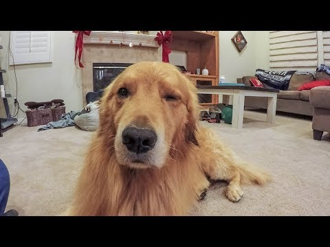 How to put your dog to sleep   nap time   golden retriever vlog